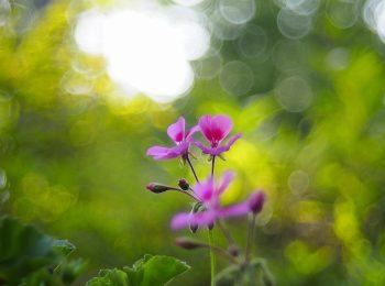 夏の草花 ゼラニウム