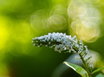 夏の草花 白花虎の尾 シロバナトラノオ